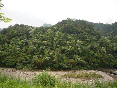 2008南庄油桐花2